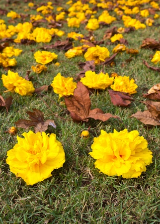 Yellow flowers that fell on the grass nicely. photo