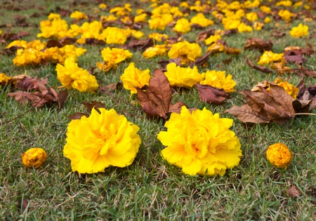 Yellow flowers that fell on the grass nicely. Stock Photo - 11863431