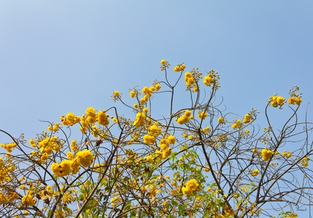 Yellow flowers atop the branches of its look through the sky. photo
