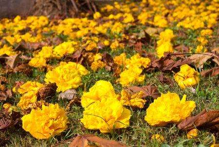 Yellow flowers that fell on the grass nicely. Stock Photo - 11863429