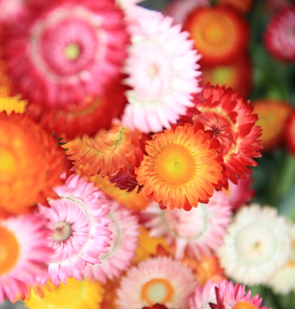 The multi-colored flowers, spherical shape, overlap nicely. Stock Photo - 11959376