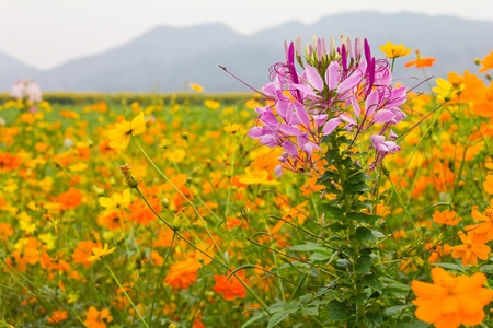 Pink spider flower among cosmos flowers. photo