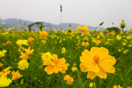 Cosmos flowers are yellow with a mountain backdrop. photo