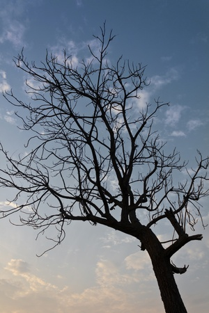 Silhouette of a dead tree in a dry, blue sky. photo
