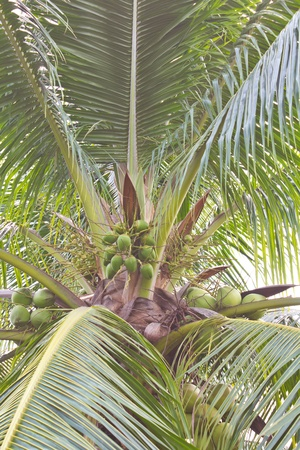 Coconut on the coconut trees with small and big. photo