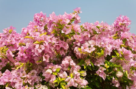 Bougainvillea pink Flowers against the sky  photo