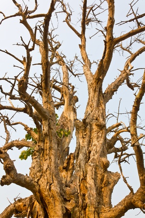 Details of branches of large trees, dead and dry Stock Photo - 12864707