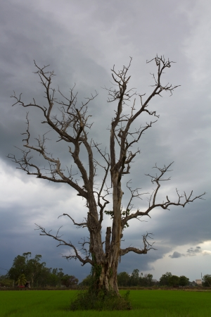 rice fields: Standing dead trees and dry in the middle of rice fields and cloudy  Stock Photo