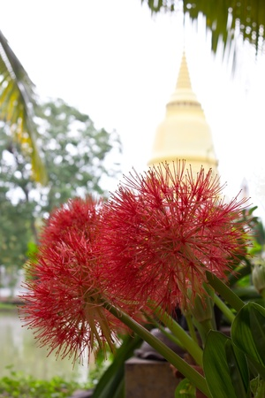 Flowers large, red needles, which are behind the pagoda  photo
