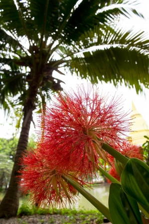 Flowers large, red needles, which are coconut trees in the background  photo
