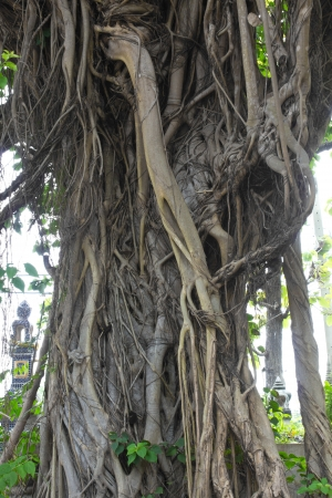 Large banyan tree near the pagoda, which is based on religious faith  photo