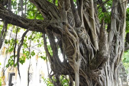 Large banyan tree near the church, a Buddhist religious faith  photo