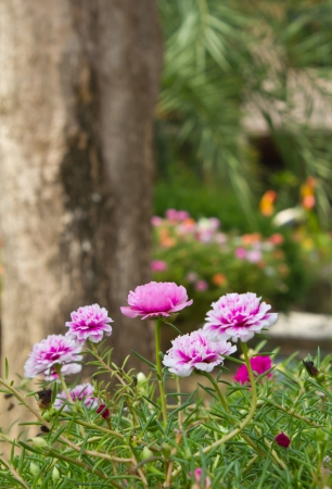 Little Common flowers pink  Many flowers small, colorful pink flowers bloom so beautifully  photo