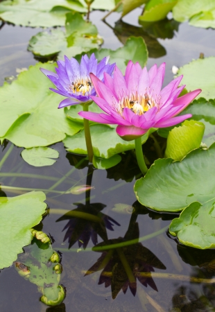 Two lotus flowers with purple, pink, reflection, and a bee sucking nectar  photo