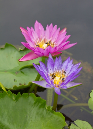 Bees sucking nectar on a lotus flower, purple and pink, which is above the water  photo