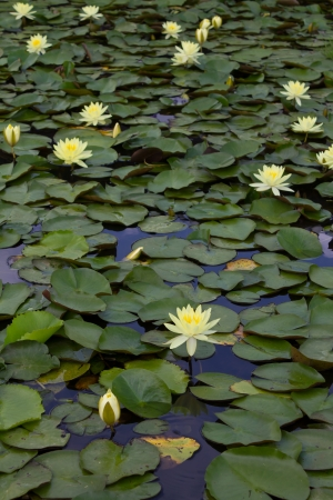 Yellow lotus flowers which are grown on a lotus leaf in a pond and beautiful