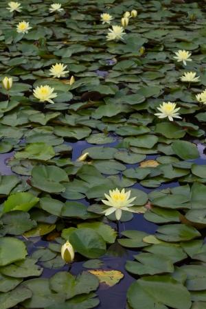 Jaunes fleurs de lotus qui sont cultivés sur une feuille de lotus dans un étang et belle Banque d'images - 14387105