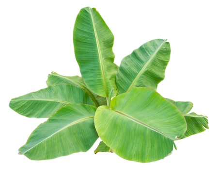 herbaceous  plant: Isolate the top of the banana trees that have large leaves  Stock Photo