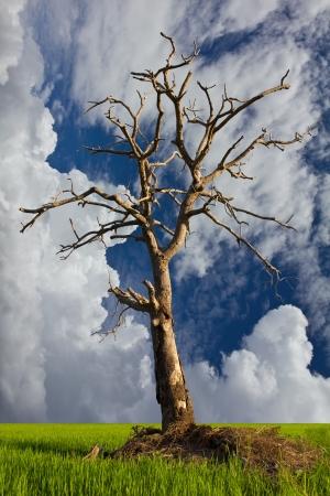 Arbre sec était sur le monticule dans un fond de ciel nuageux sur les producteurs de riz thaïlandais Banque d'images - 15027936