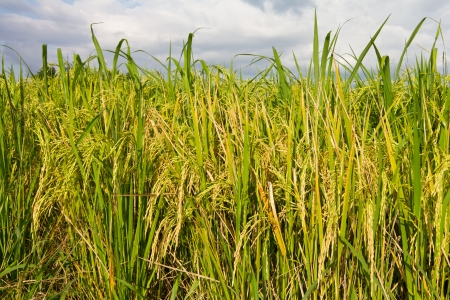 Yellow rice with weeds in the country close to harvest season  photo