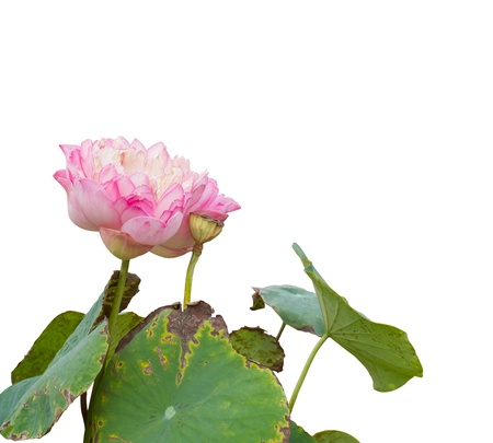 Isolates of pink lotus flowers which are withered and dry the leaves die  Stock Photo - 17291026