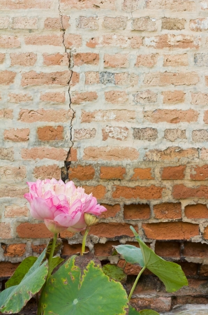 Pink sacred lotus with dry leaves on old ruined brick wall rupture Stock Photo - 17396336