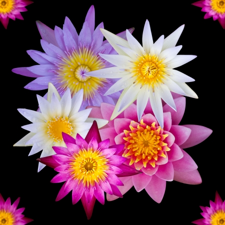 Isolated top view of colorful lotus flowers, many of which are overlapping Stock Photo - 17691487