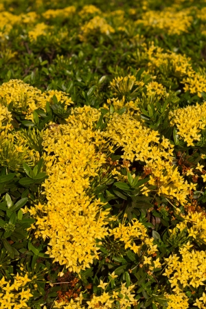 Ixora,Small needle-like yellow flowers photo