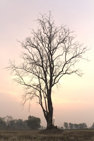 Tree of the drought on the fields that are common in rural Thailand  photo