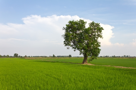 Single tree with lush foliage, which is located in the middle of lush rice fields  photo
