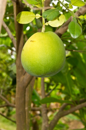 Pomelo big ball attached to its branches hung with golden perch flies  photo