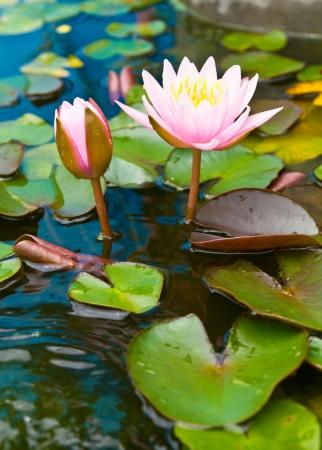 Two pink lotus blossom and bud growth, which are both above the water beautifully  photo