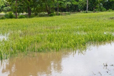 Green rice fields are flooded and damaged the productivity of farmers  Stock Photo