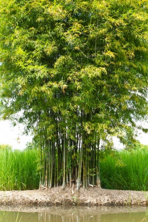 Bamboo green bush growing on the berms near the leaves behind