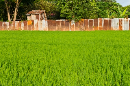 Fresh green rice field with old rusty corrugated fence row behind  photo