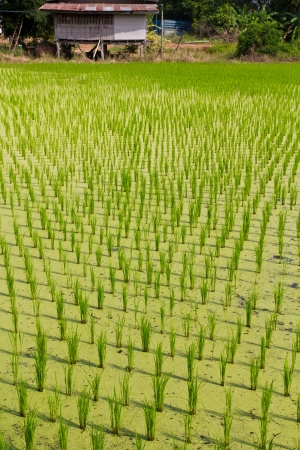 Rice seedlings in a paddy field close to agriculture, rural residential  photo