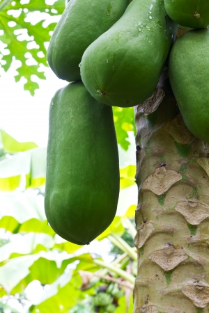 Green papaya hanging on the trees photo