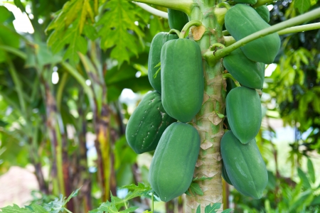 Green papaya fruit abundance on the non-toxic common in gardens  photo