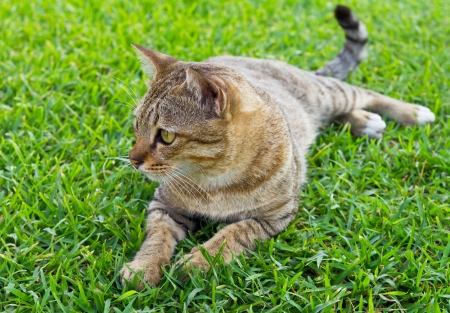 Grey Black tabby of Thailand, lying on the grass green  photo