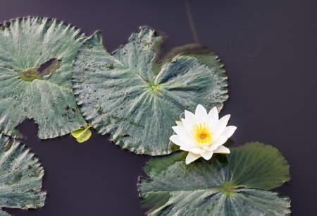 turbidity: Beautiful white lotus bloom among the leaves and black water turbidity