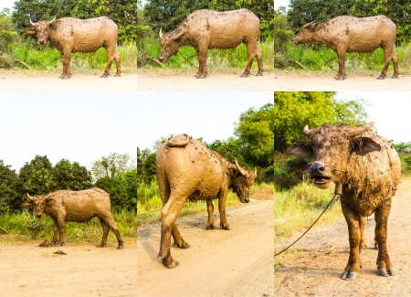 Buffalo soiled with mud, standing on a rural road  photo