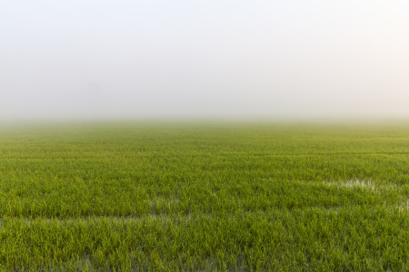 Views of green rice with sea fog in the winter of Thailand  photo