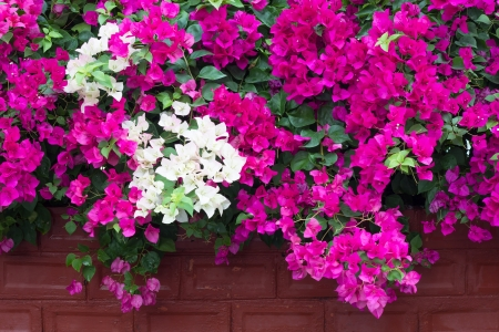 White and red bougainvillea flowers bloom on a brick wall  photo