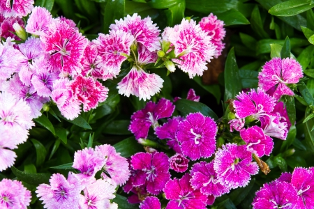 Background of flowering dianthus, pink, purple, white and beautiful  photo