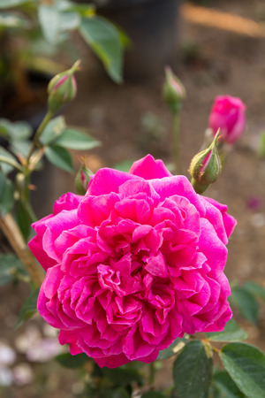 Blooming pink roses and buds in the garden beautifully  photo