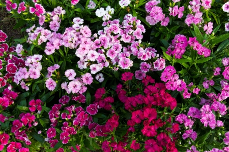 dianthus: Background of flowering dianthus, pink, purple, red, bright beautiful