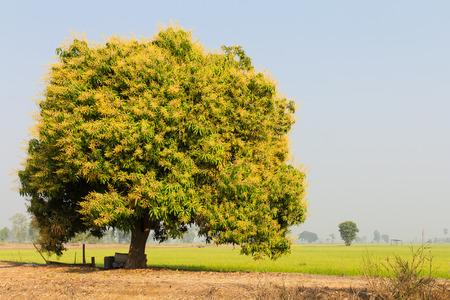 mango tree: Bouquet of flowers on the tree, it will be fruitful mango season