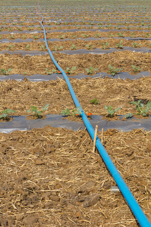 Lines of plastic tubing to deliver water in watermelon plantations  photo