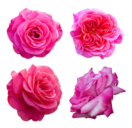 Isolates of rose pink flowers with four petals dew stuck  photo