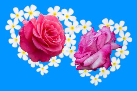 Two pink roses Frangipani flowers above the blue background  photo